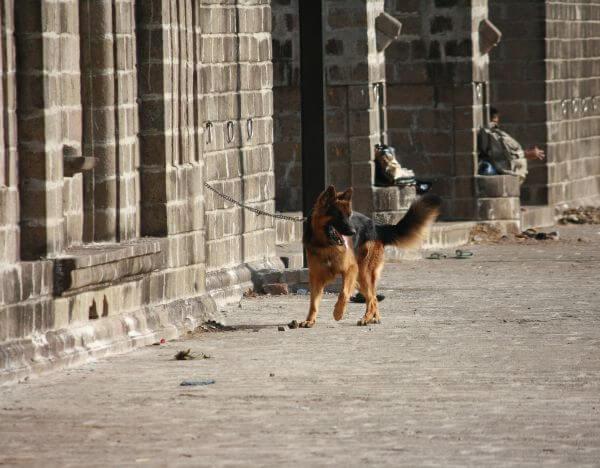 Dog German Shephard photo