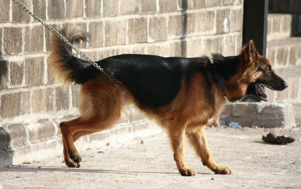 German Shephard Chained photo