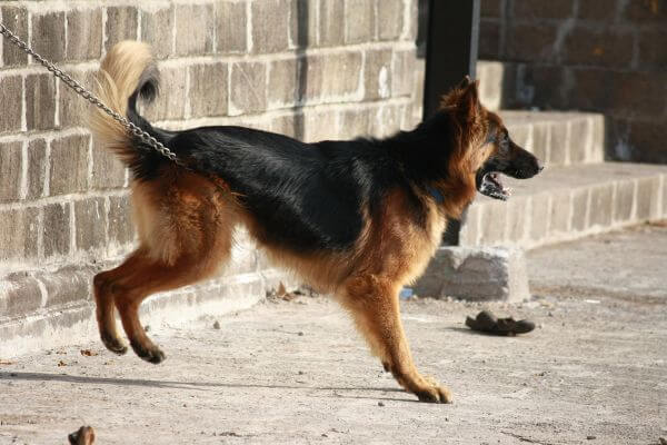 German Shephard Dog Breed photo