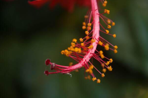 Hibiscus Flower Close photo