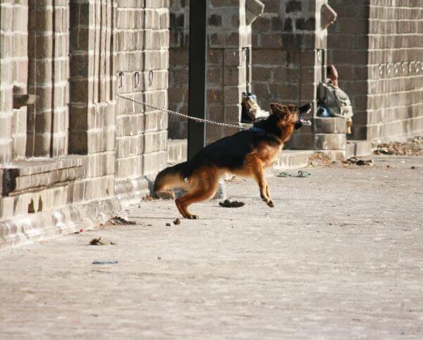 Jumping German Shephard photo