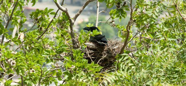 Crow Nest Tree photo