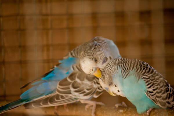 Love Birds Caged photo