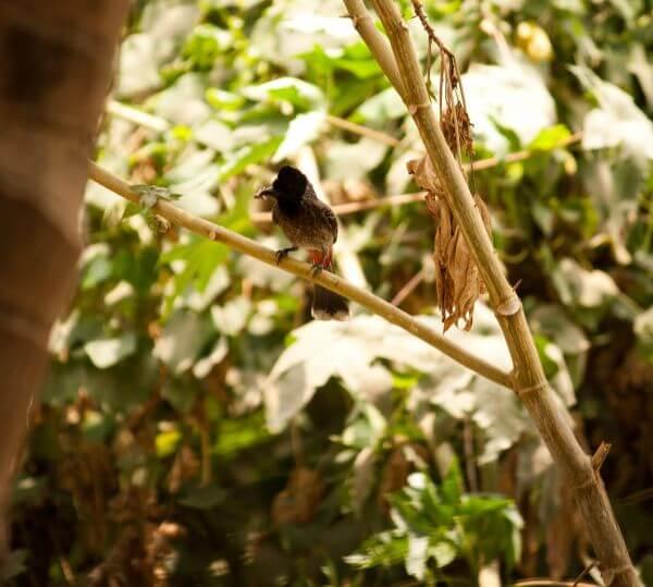 Birds Bulbul photo