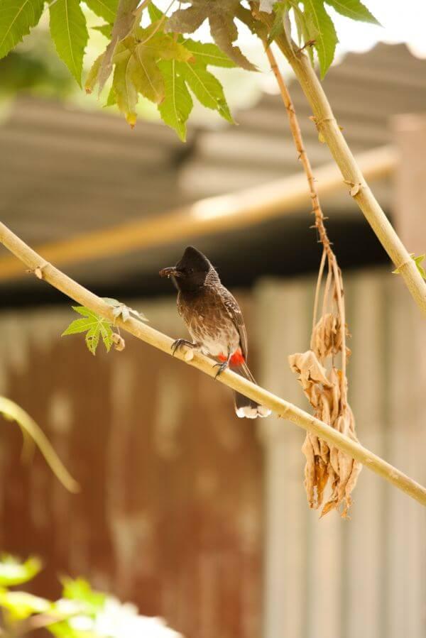 Bulbul Bird Small photo