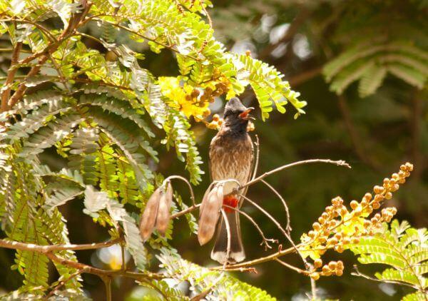 Bulbul Bird photo