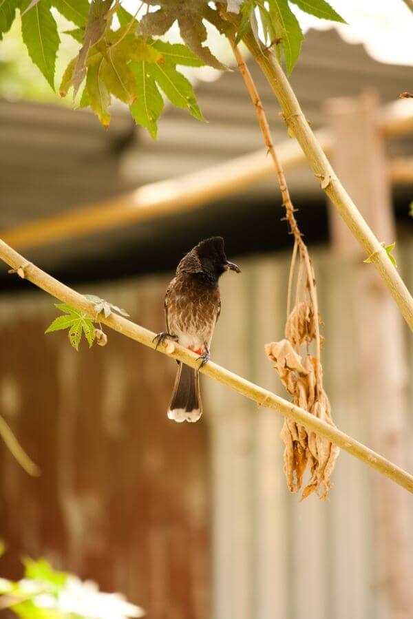 Bulbul Birds photo