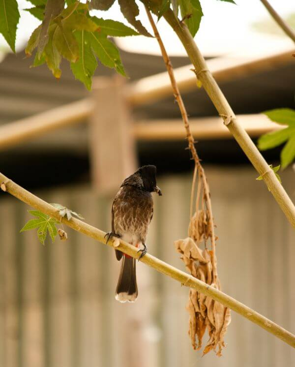 Bulbul Sitting Branch photo