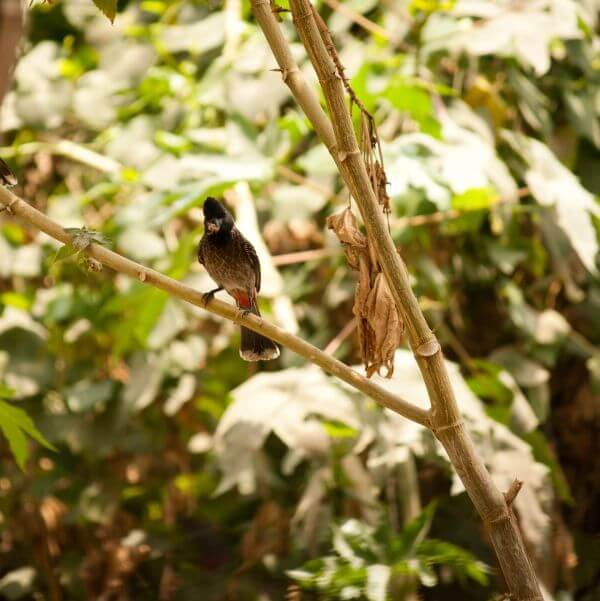 Bulbul Tree Branch photo