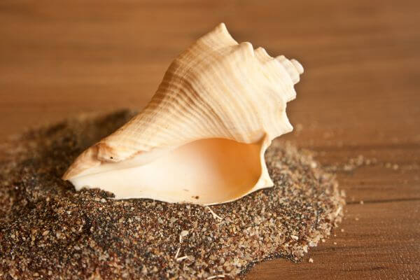 Beautiful Conch photo