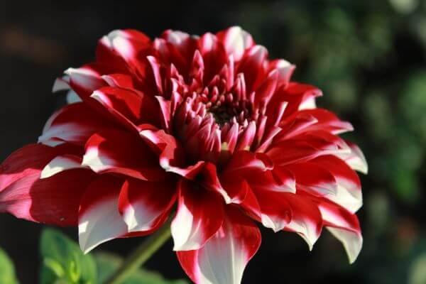 Beautiful Flower Full Bloom photo