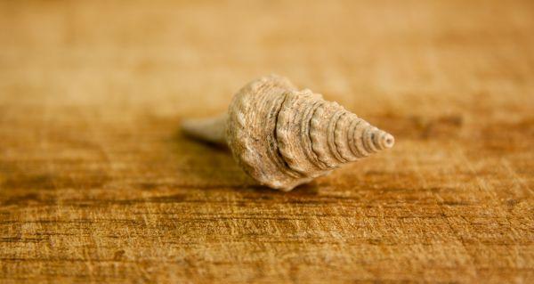 Small Shell photo