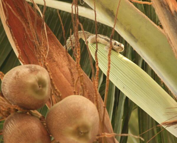 Coconut Tree Coconuts photo