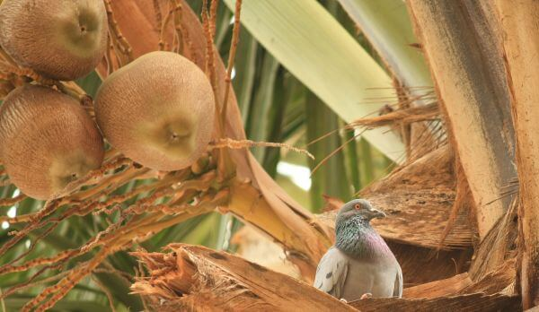 Coconut Tree Pigeon photo