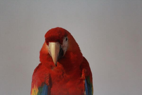 Beautiful Scarlet Macaw photo