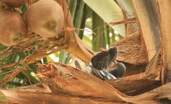 Pigeon Coconut Tree photo