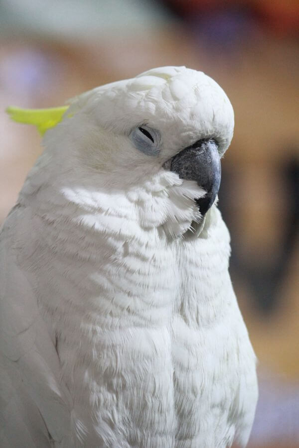 Cockatoo Bird White photo