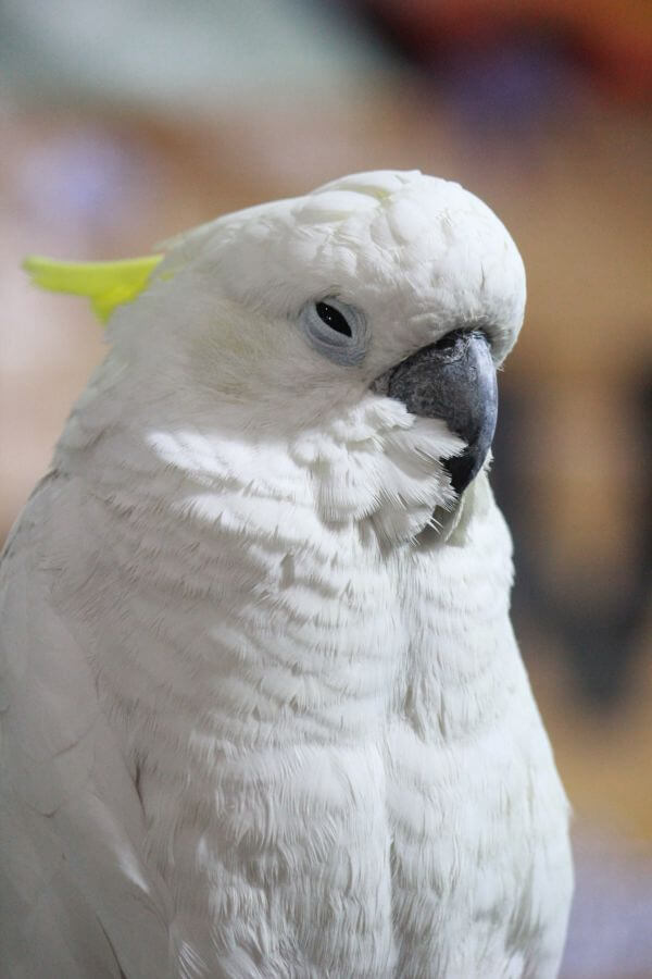 Cockatoo Bird photo