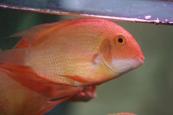 Golden Oscar Fish Tank photo