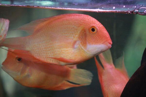 Golden Oscars Couple Fish photo