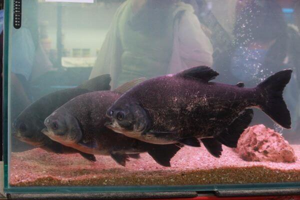 Pacu Fish photo