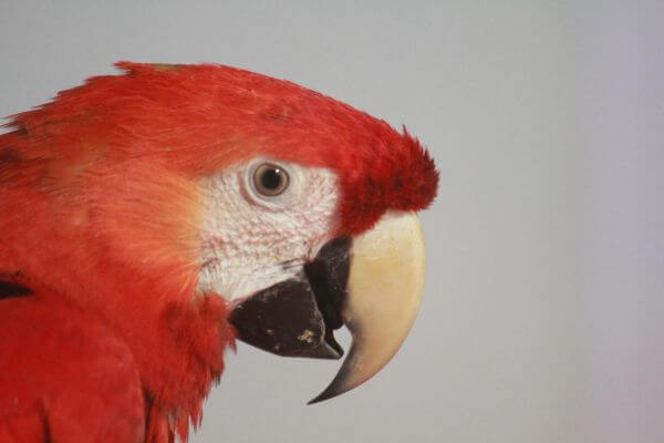 Parrot Red Color Bird photo