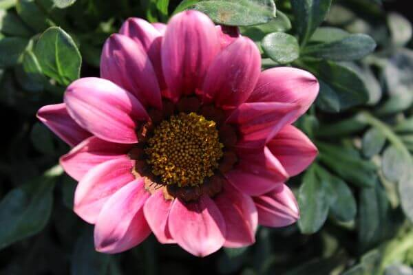 Pink Sunflower Type Flower photo