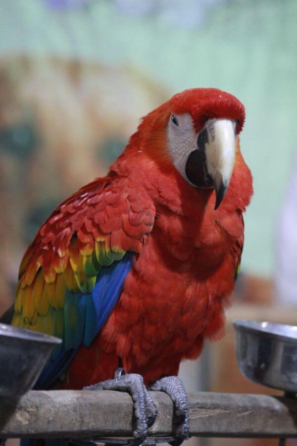Scarlet Macaw Bird photo