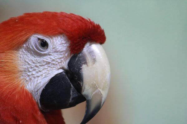 Scarlet Macaw Face photo