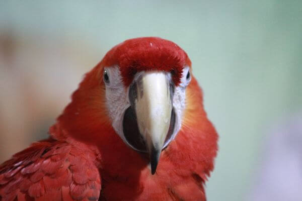 Scarlet Macaw Parrot Bird photo