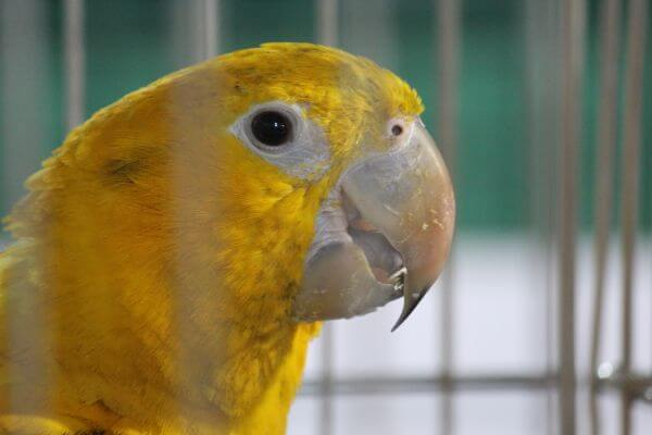 Yellow Bird In Cage photo