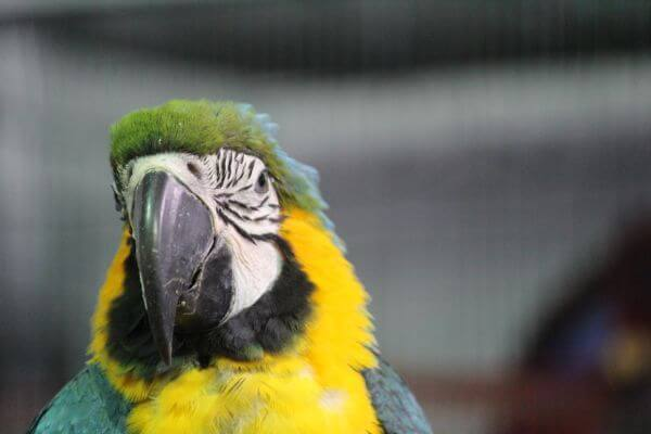 Yellow Green Parrot Macaw photo