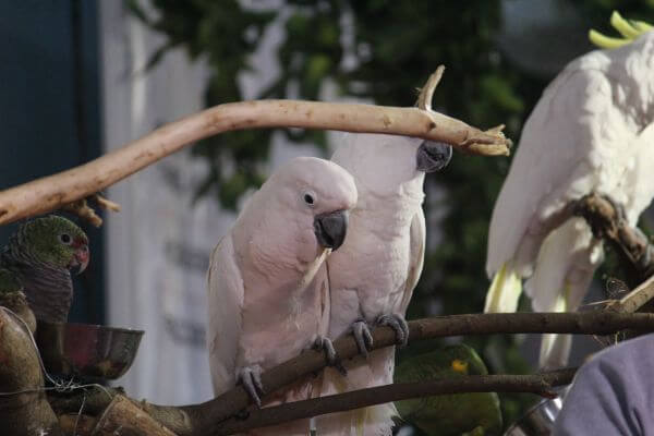 Birds Cockatoos photo