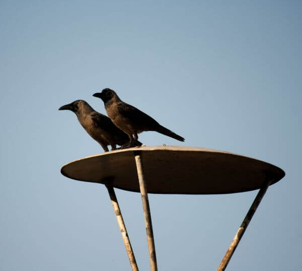 Crows photo