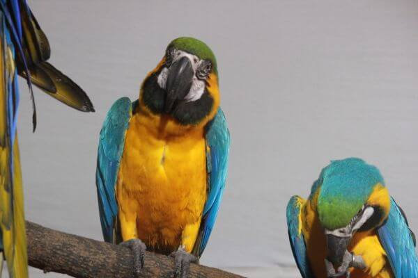 Blue And Yellow Macaw photo