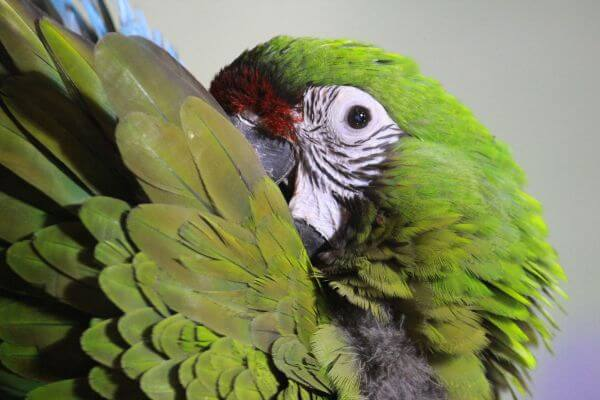 Green Parrot Macaw photo