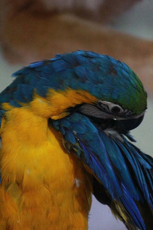 Macaw Blue And Yellow Bird photo
