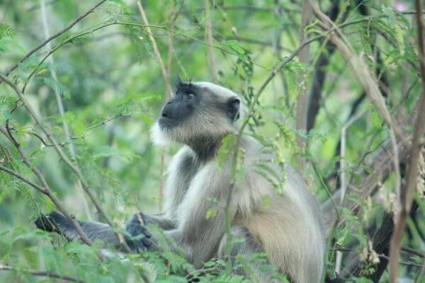 Monkey Looking Upwards Tree photo