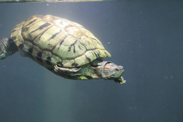 Tortoise Turtle Water Aquarium photo