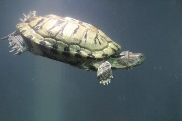 Turtle Tortoise Fish Tank photo