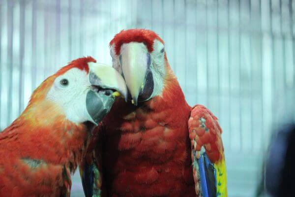 Two Macaws Together photo
