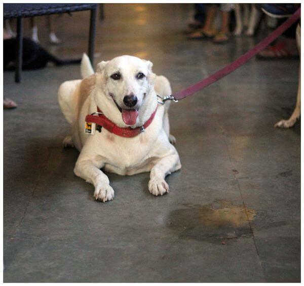 White Dog Sitting photo