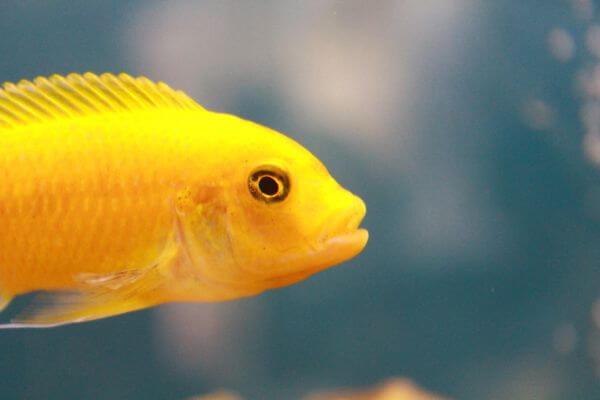 Flimsy Yellow Fish photo