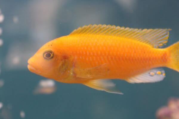 Orange Fish photo