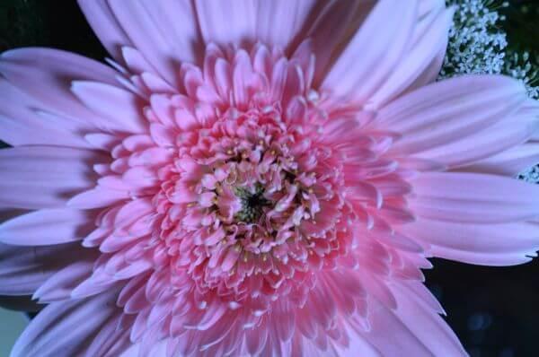 Light Pink Flower Daisy Aster photo