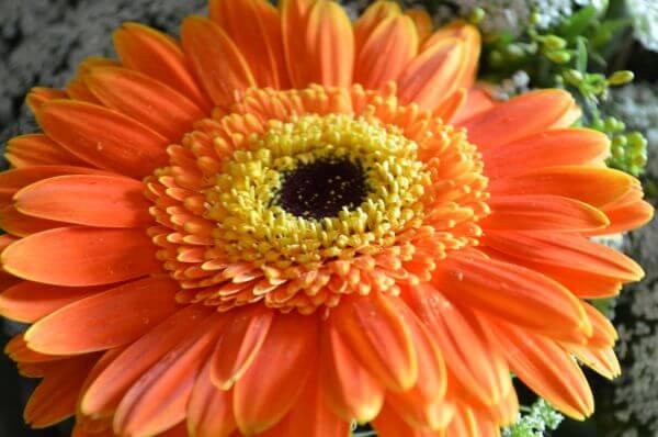 Orange Aster Daisy photo