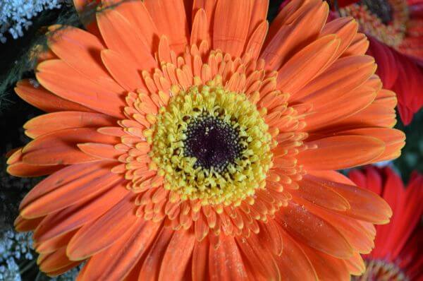 Orange Daisy Aster Flower photo