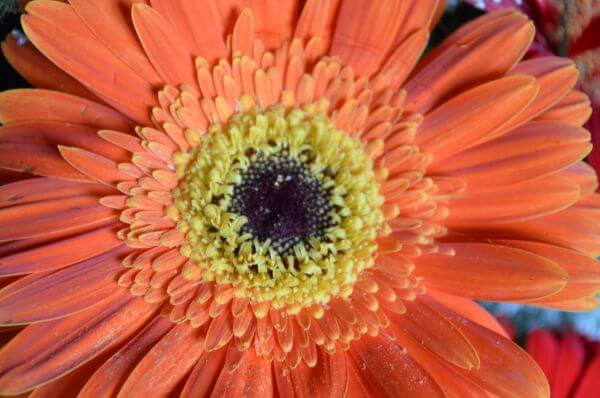Orange Daisy Lovely photo