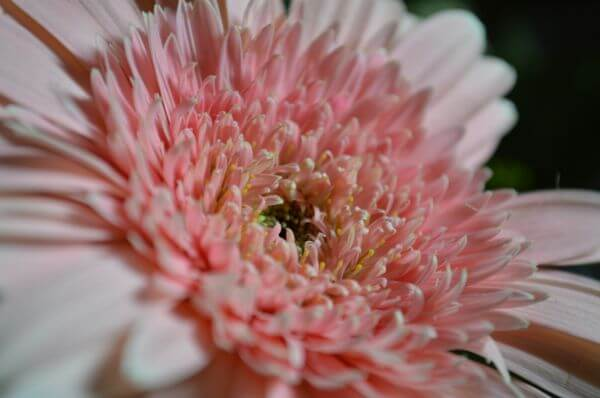 Pink Flower Daisy photo
