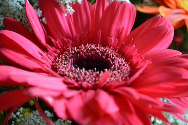 Pink Red Daisy Angle photo